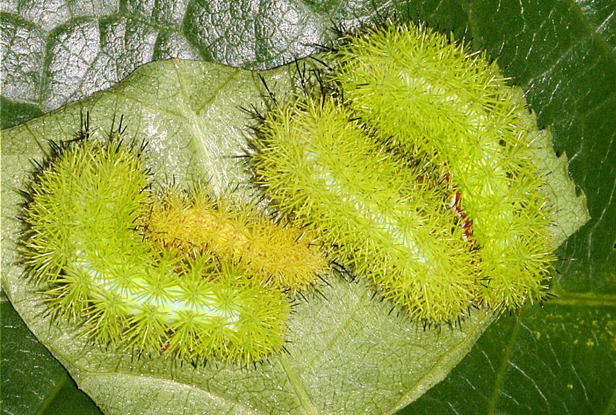 5th instars