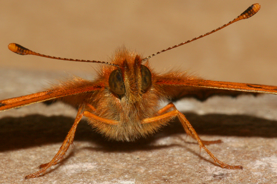 face, antennae