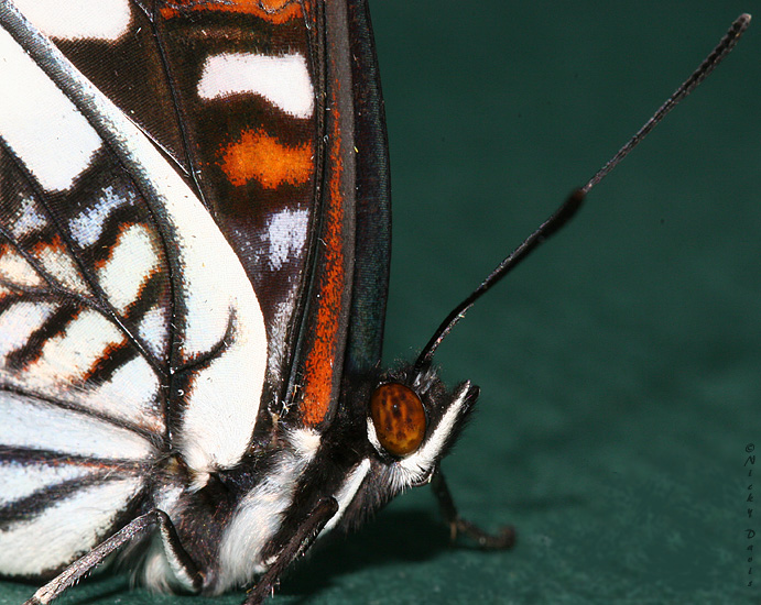 Male Weidemeyer's Admiral, face