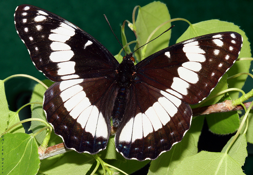 Male Weidemeyer's Admiral, dorsal view