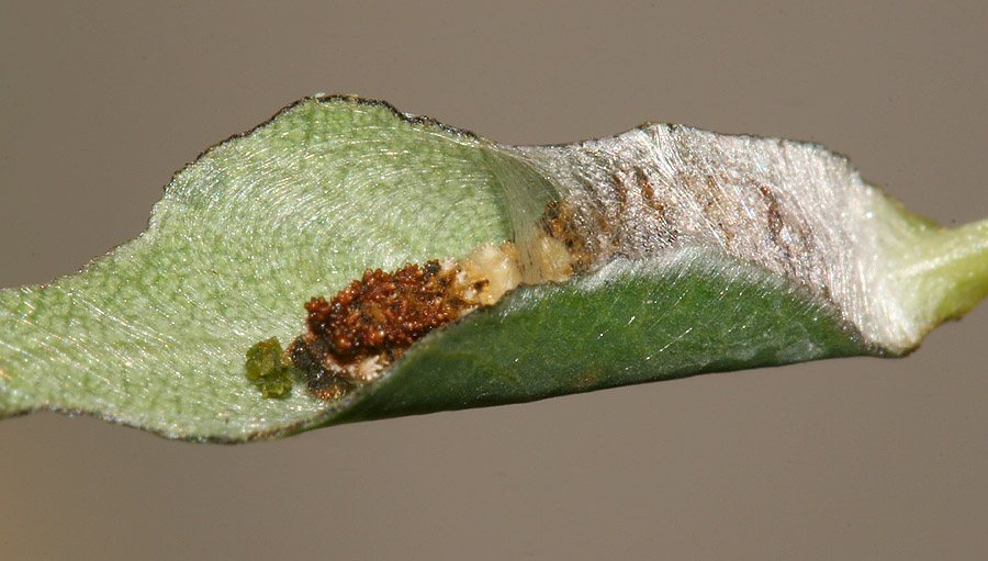 larva inside silk nest