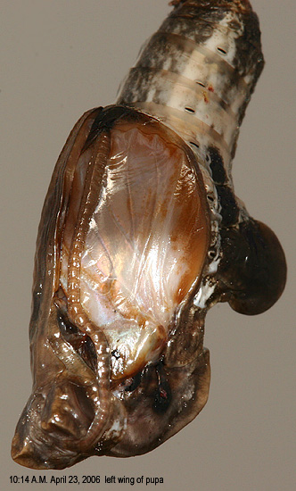 left wing of pupa
