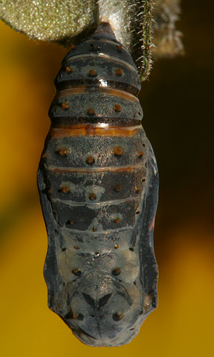 pupa one hour 9 minutes before adult emerged