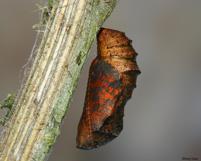 Phyciodes mylitta pupa on October 14, 2006