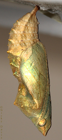 side view of pupa