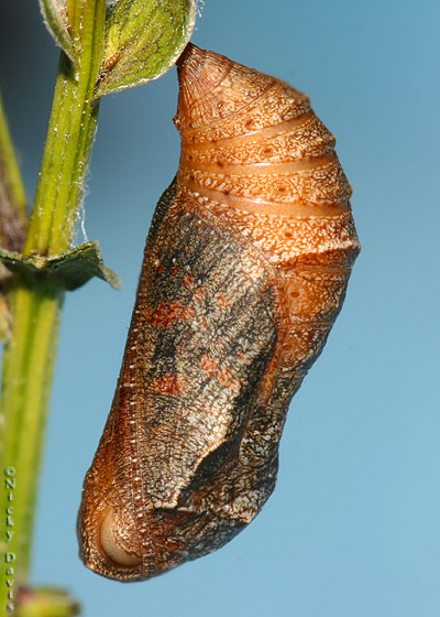 pupa the evening prior to eclosure
