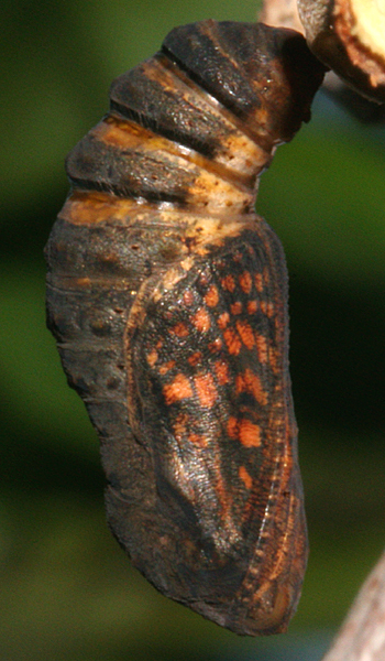 pupa 21 minutes before adult emerged