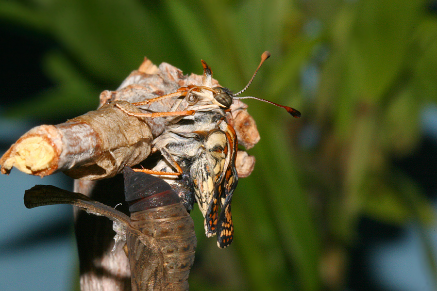 emerging from pupa