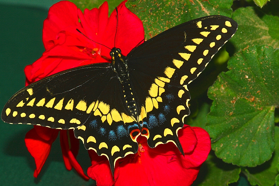 Adult male Papilio polyxenes asterius