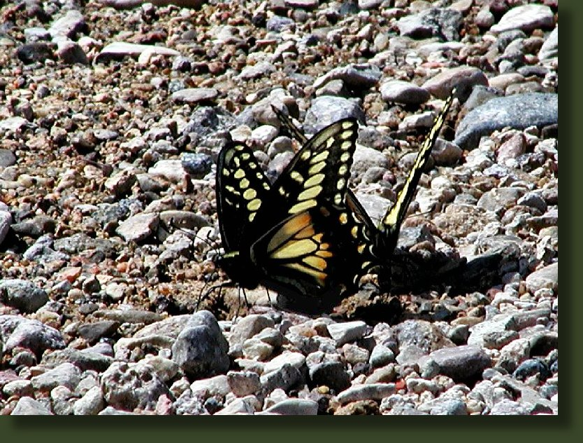 Photos of Utah Butterflies, Lepidoptera, Photo of Desert Swallowtail Butterfly, Lepidoptera Papilionidae Papilioninae Papilio coloro, April 25, 2004, Lytle Ranch, Washington County, Utah, ©Nicky Davis