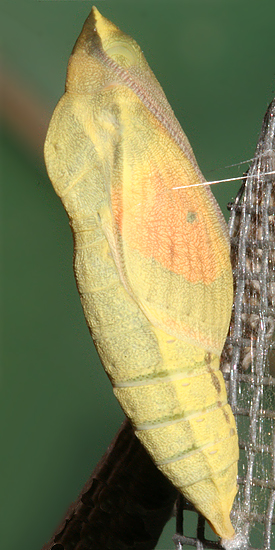 pupa 1 hr. 17 min. before adult emerged
