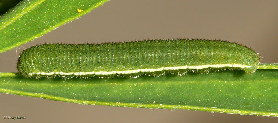 4th instar on July 10, 2006