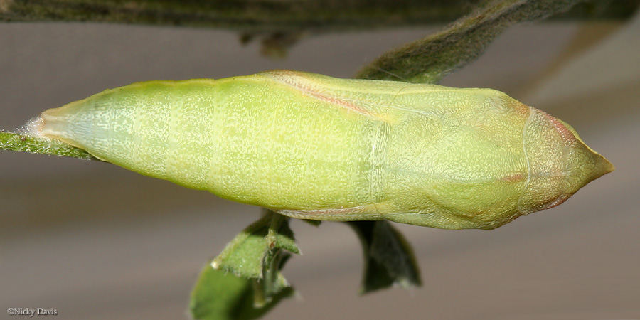 development of pupa- dorsal view