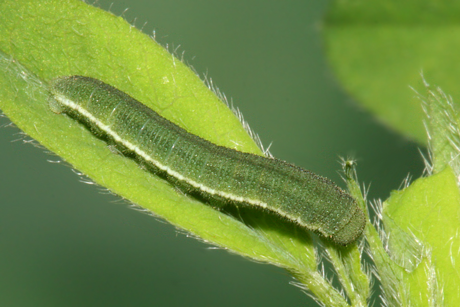 Fourth Instar Photo on May 15, 2009