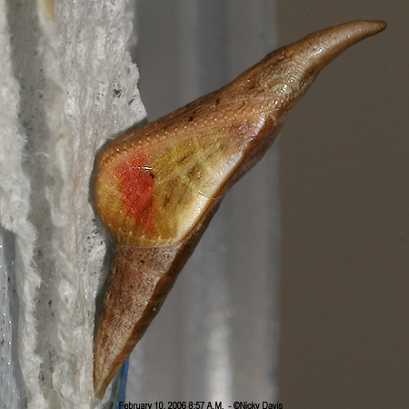 A. stella browningi pupa - morning of 2-10-06