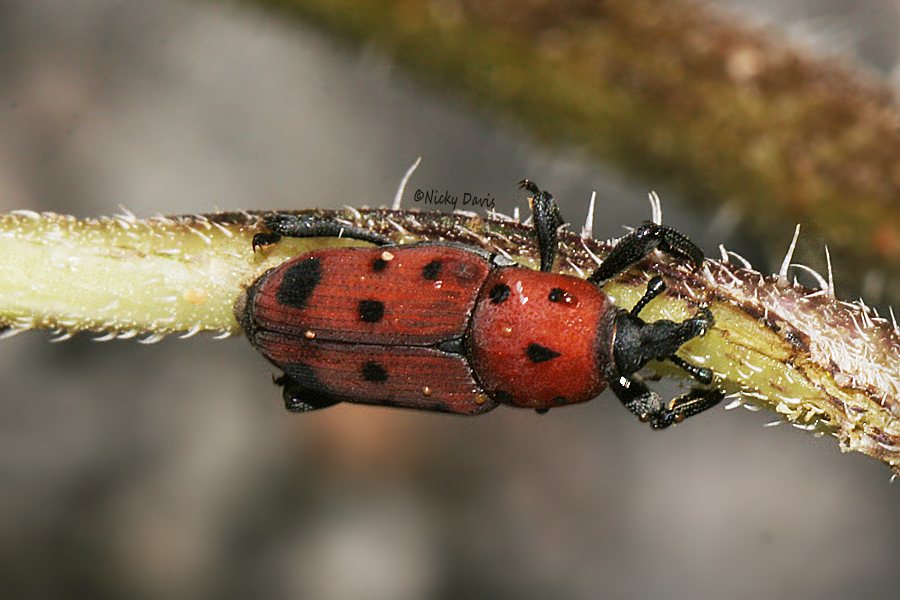 beetle red with black spots