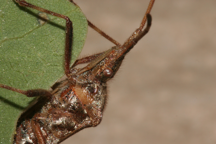 Leaf Pine Leaf Footed Pine Seed Bug
