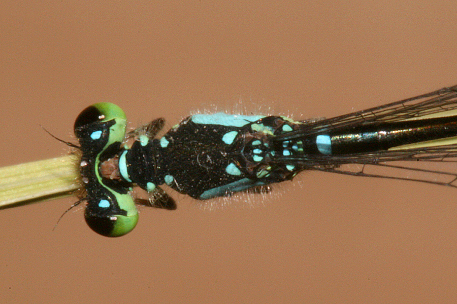 dorsal view of thorax