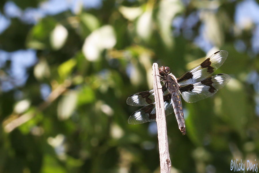 female Eight-spotted Skimmer
