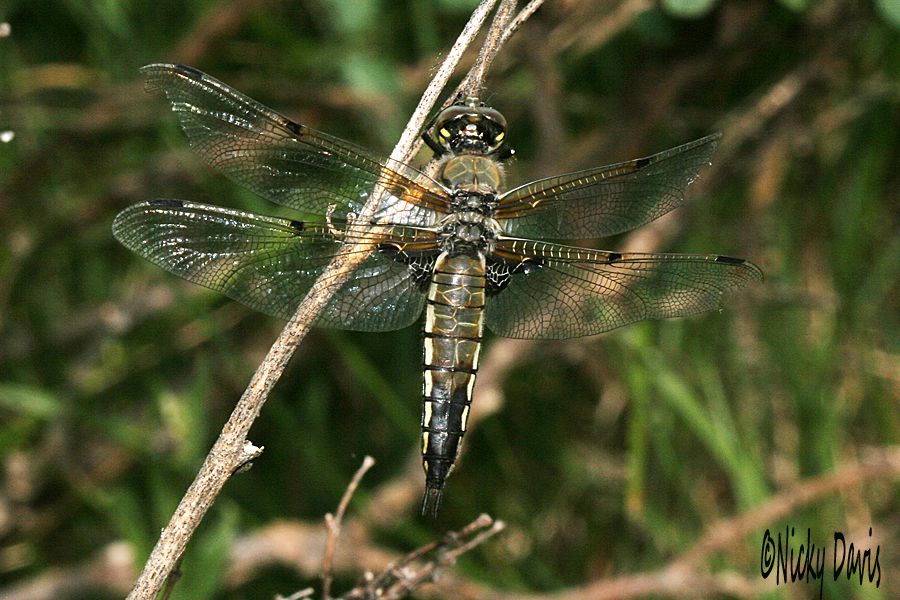 Four spotted skimmer - Libellula