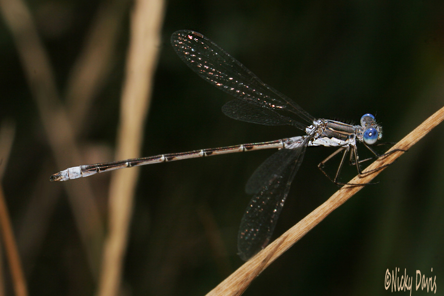 lyre tipped Damselfly at Jordanelle