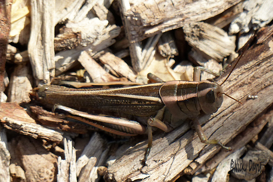 Bronze colored Grasshopper
