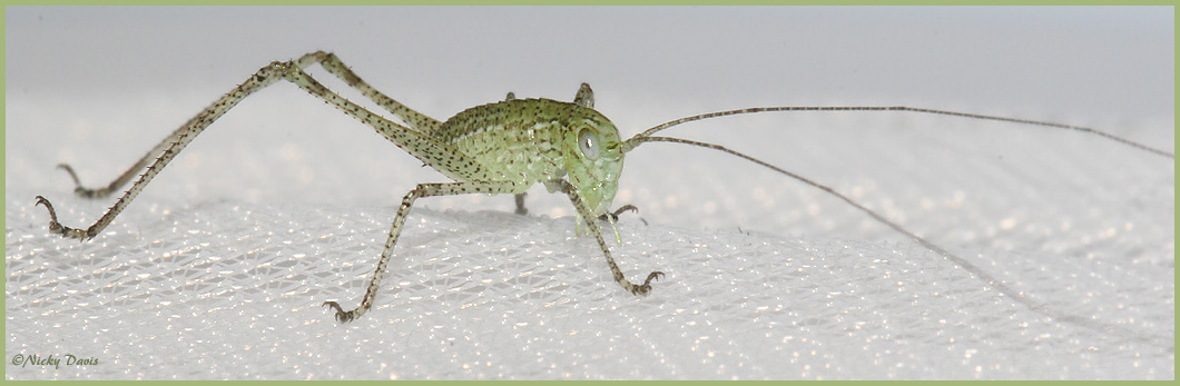Katydid, emerged from eggs today - March 19, 2006