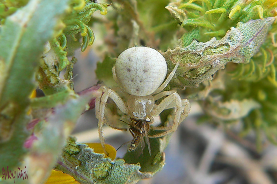 crab spider white