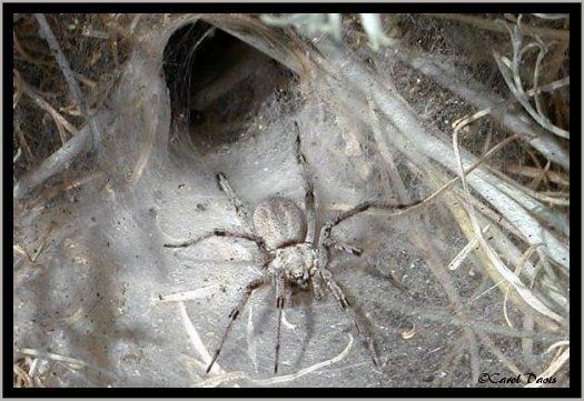 Wolf spider - Wikipedia