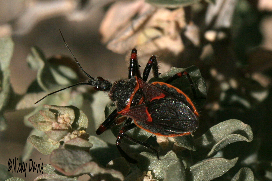 black red bug at mercur