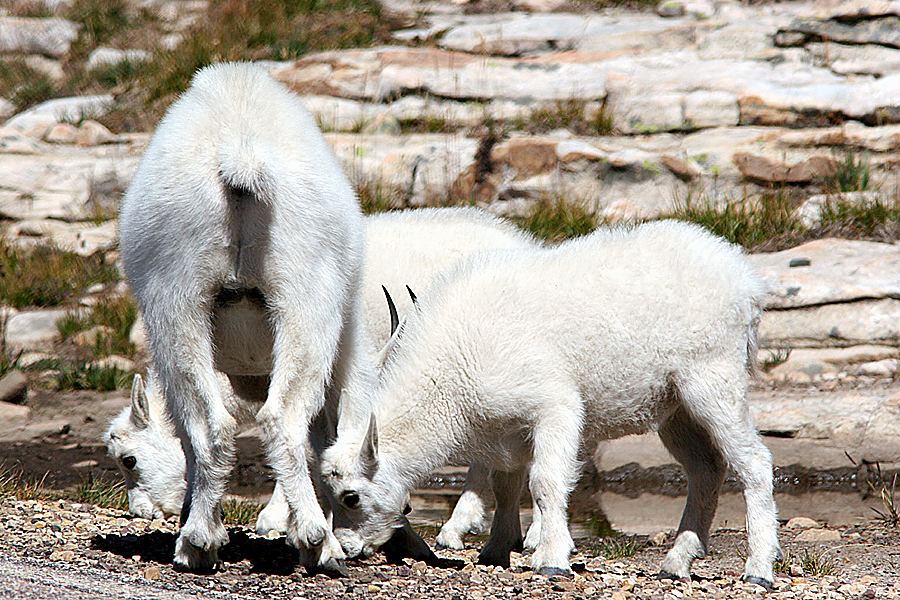 Mountain Goat herd