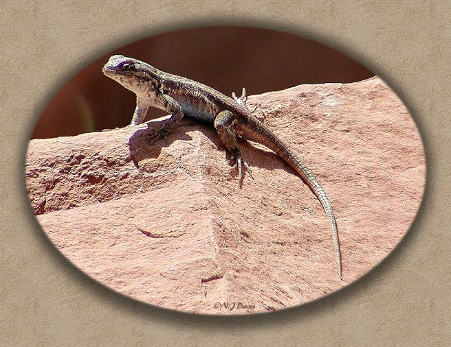 Northern Side-blotched Lizard