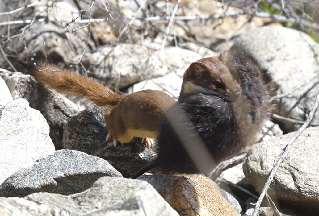 Weasel carrying the muskrat