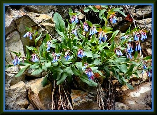 Wild Bluebells, South Fork of Provo Canyon, Utah County, Utah,  ©Nicky Davis