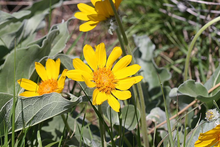 N Home Elevation Usa : Wild utah photos of arrowleaf balsamroot asteraceae