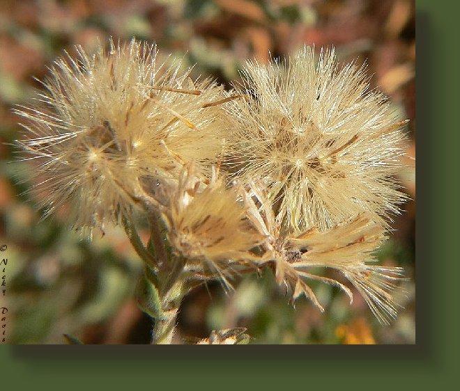 Aster Golden Hairy