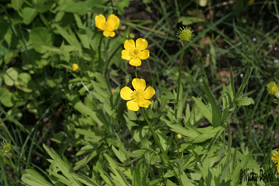 Smooth buttercup, ranunculus glaberriums plant