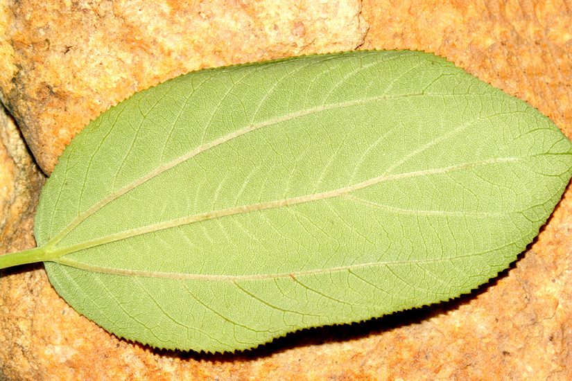 underside of leaf