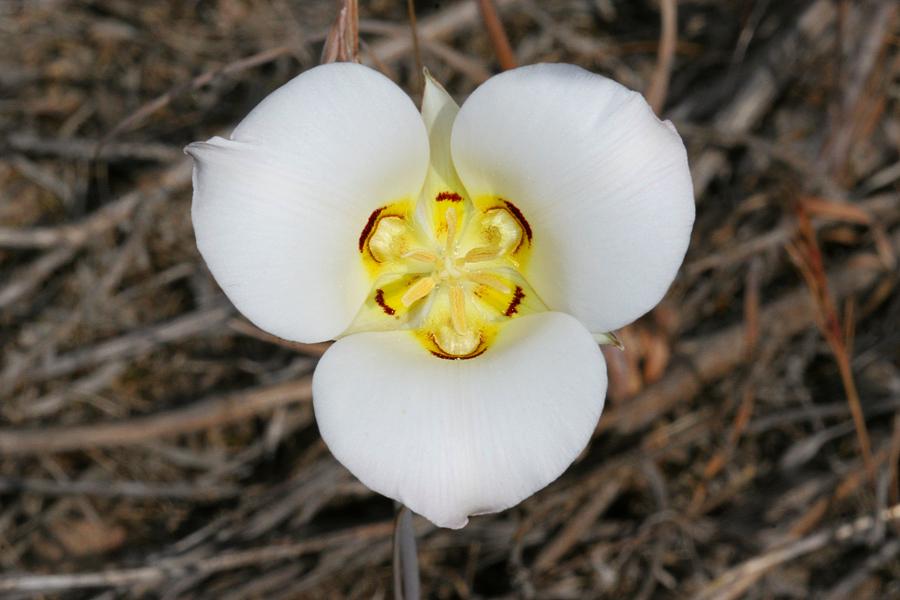 Wild utah plant flower photos three white petals sego lily flower mightylinksfo Gallery