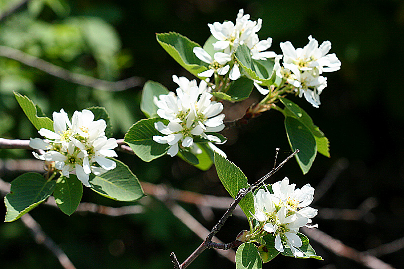Wild utah photos shrubs and trees photos of serviceberry syn flowers altavistaventures Gallery