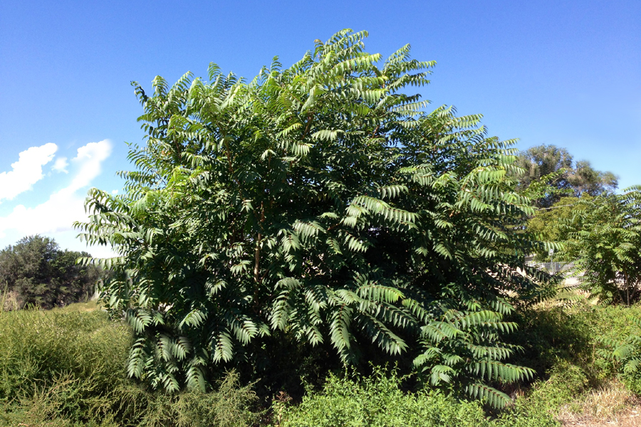 Tree of Heaven, Chinese Sumac, Stink Tree Ailanthus